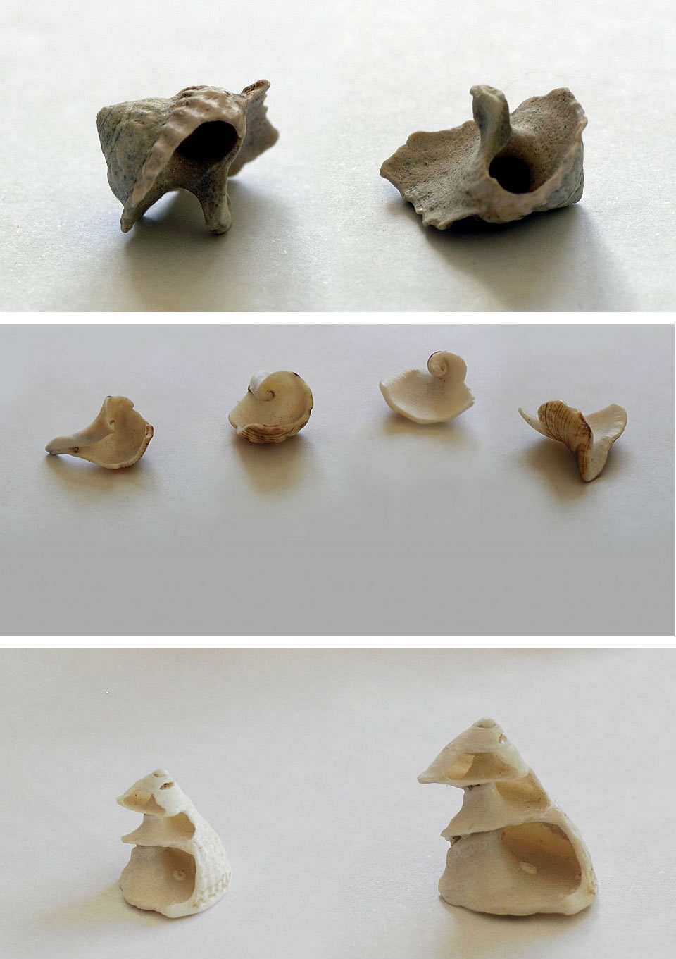 Photographs of shells by Amiria Gale